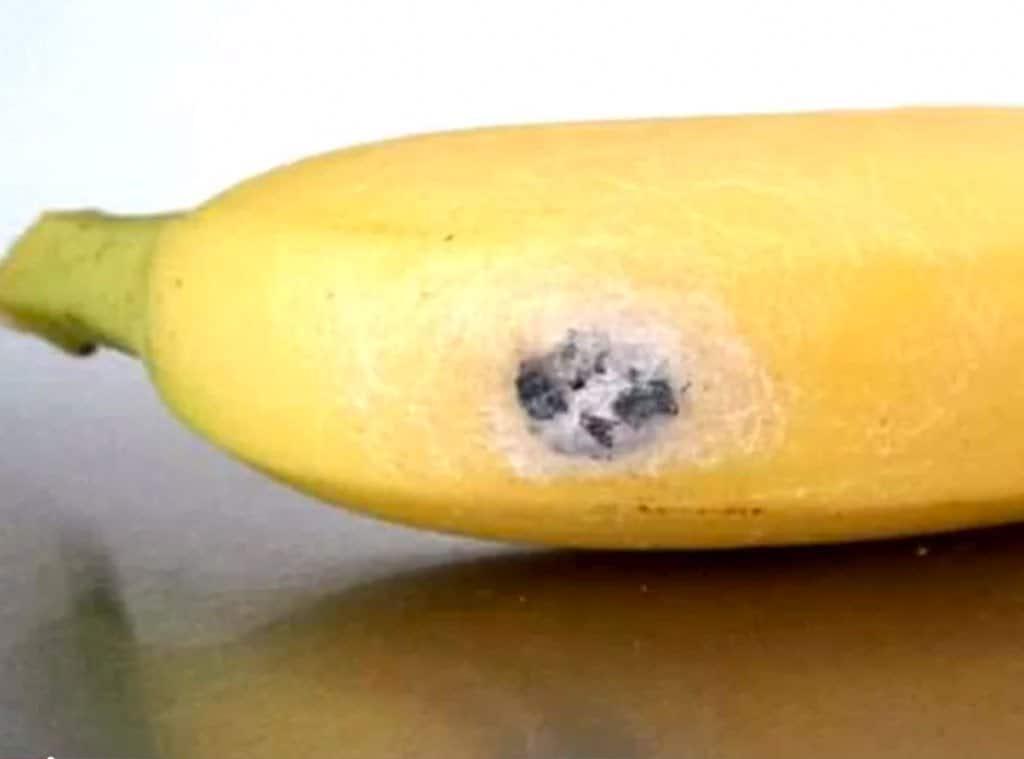 Aranhas costumam se esconder nos cachos de banana