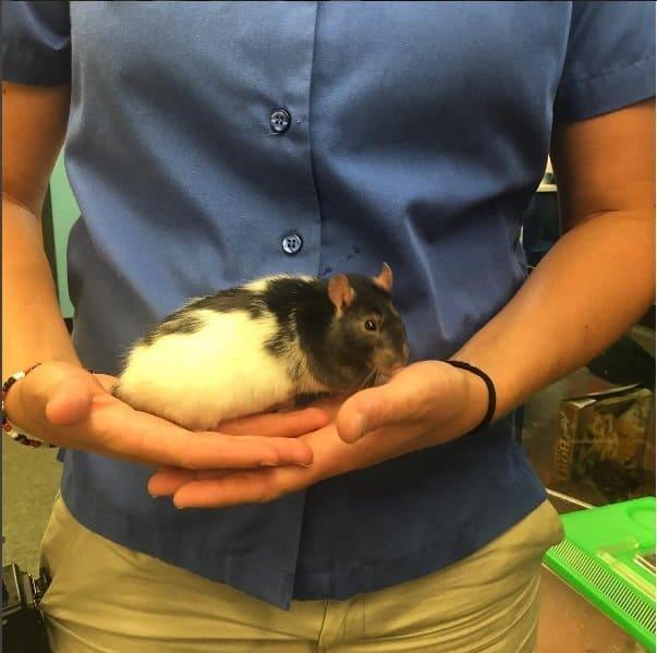 Com 19 semanas o bebê tem o mesmo tamanho desse ratinho