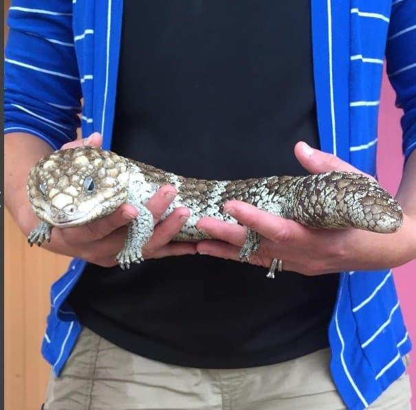 Com 27 semanas, o bebê está com o mesmo tamanho desse lagarto