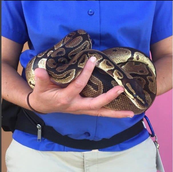 Com 29 semanas de gestação, o bebê tem o mesmo peso desta cobra