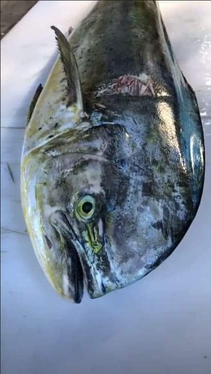 Imagem do peixe que o papai Daniel Cady pescou para suas gêmeas