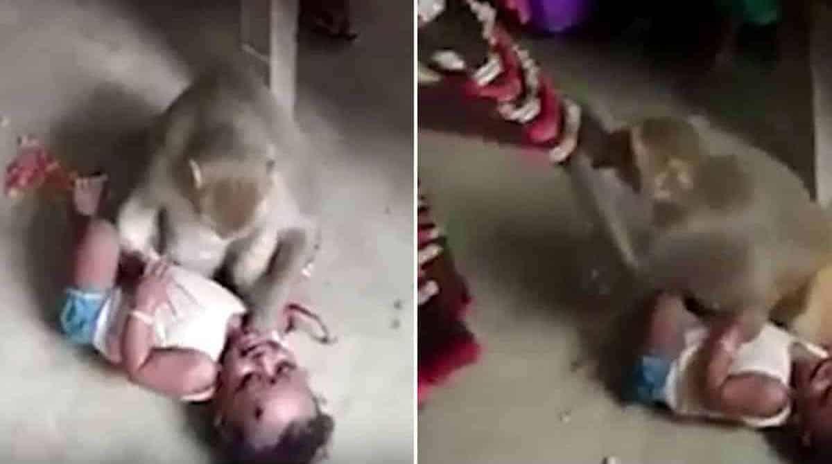 Bebê quase é raptado por macaco