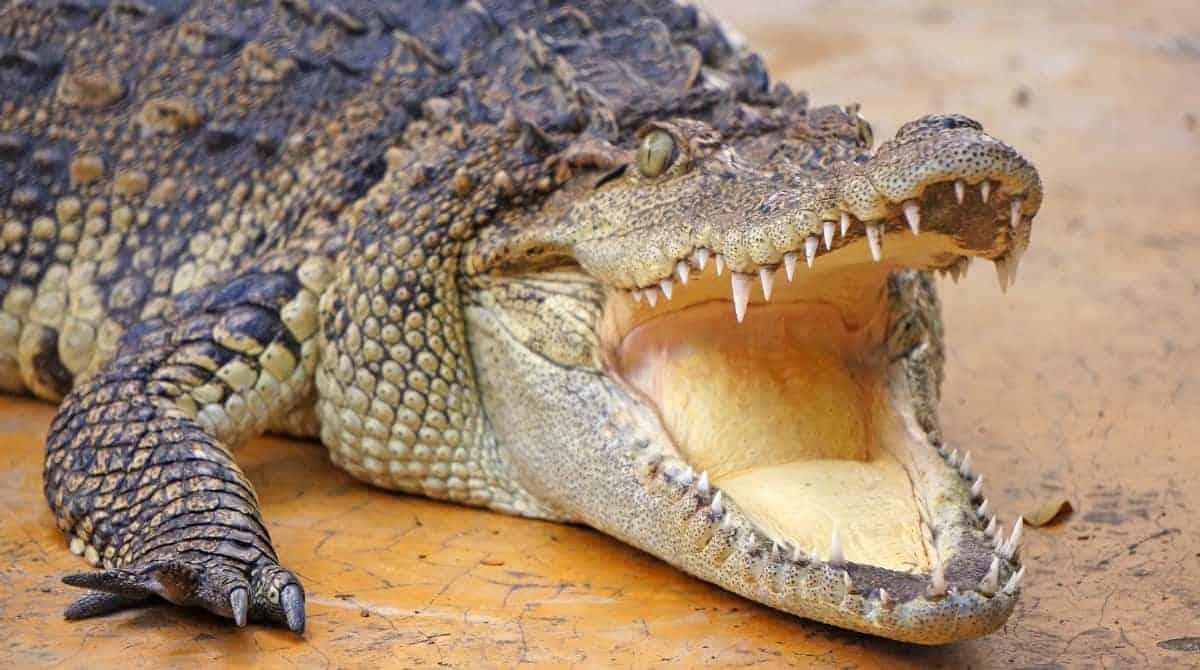 Crocodilo atacou menino em barco