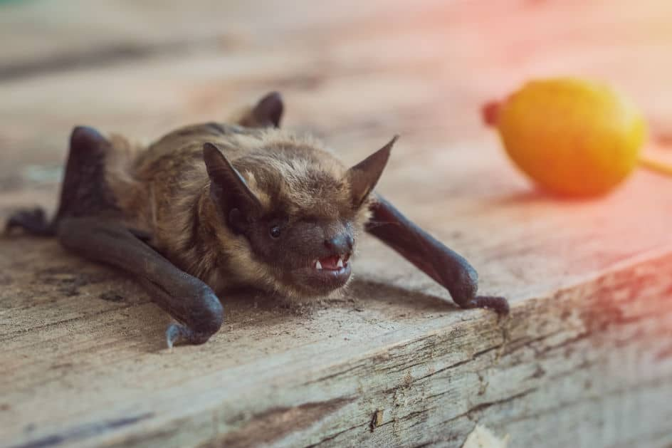 O morcego que mordeu o menino era desta espécie