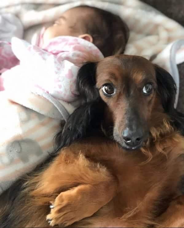 O cão Bernardo durante o seu treinamento e o bebê da foto NÃO é a menina Zoe