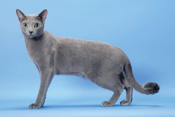 Gato da Rússia da espécie Azul
