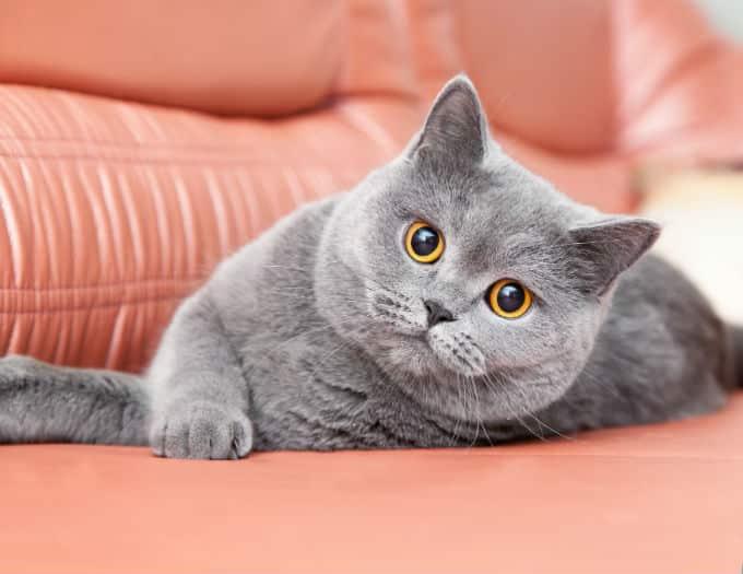 Esse gato é da espécie British